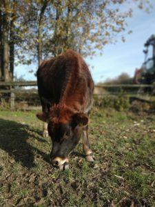 Kuhkuscheln, tiergestützte Förderung, tiergestützte Aktivität